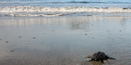 Newborn baby turtle on the way to the vastness of the Pacific Ocean. Manuel Antonio National Park. Costa Rica